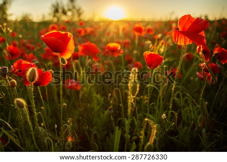 beautiful poppies meadow at sunset