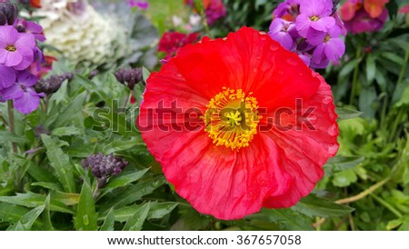 Beautiful poppy among other flowers - stock photo
