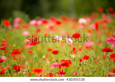 Beautiful poppy field on a cloudy spring day, selective focus - stock photo