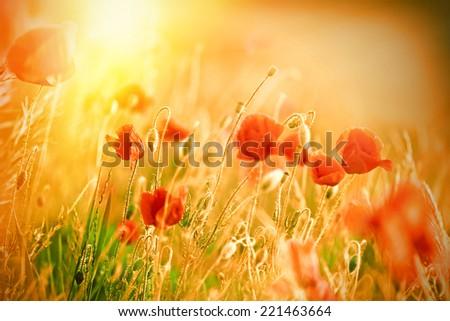 Beautiful poppy flowers in meadow lit by sunlight - stock photo
