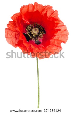 beautiful poppy isolated on white - stock photo