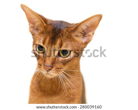 Beautiful portrait Abyssinian cat on a white background - stock photo