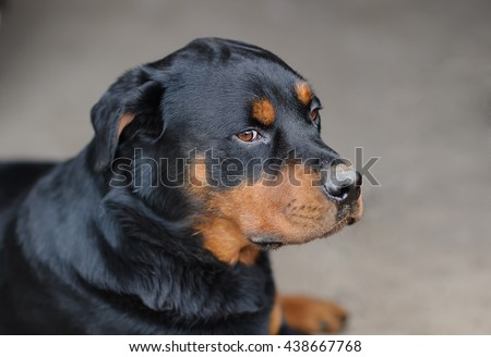 Beautiful portrait of a dog. Rottweiler.