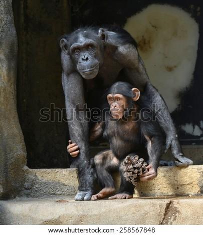 Beautiful Portrait of a father chimpanzee and Child - stock photo