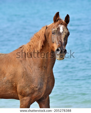 Beautiful portrait of a red Arabian horse on a background of blue sea - stock photo