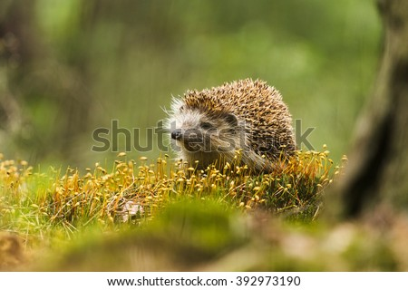 Beautiful portrait of Hedgehog in forrest on moss - stock photo