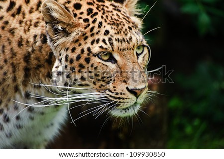 Beautiful portrait of leopard Panthera Pardus big cat amongst foliage in captivity
