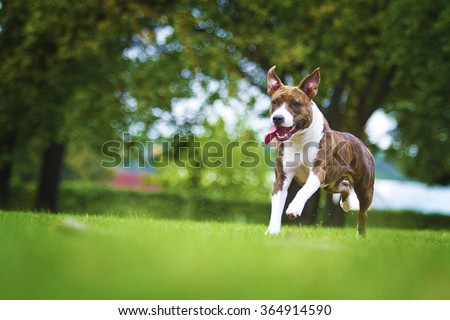 beautiful pretty American Staffordshire Terrier dog running speed in spring park - stock photo