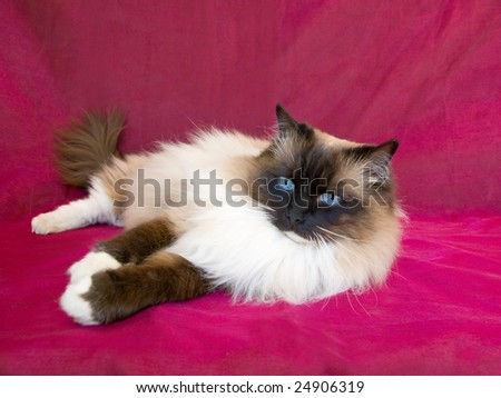 Beautiful pretty Ragdoll adult cat on burgundy colored shiny fabric background