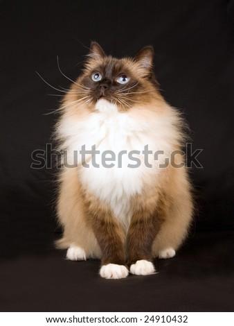 Beautiful pretty Ragdoll cat kitten on black background - stock photo
