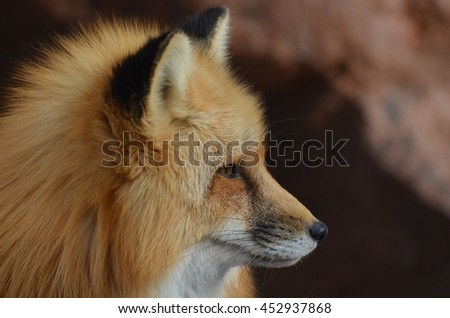 Beautiful profile of a red fox with a pointy nose.