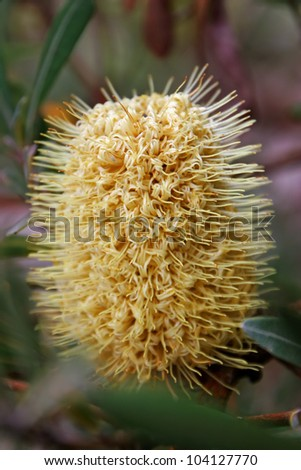 Beautiful Protea Banksia Flower Blooming in Vivid Color - stock photo