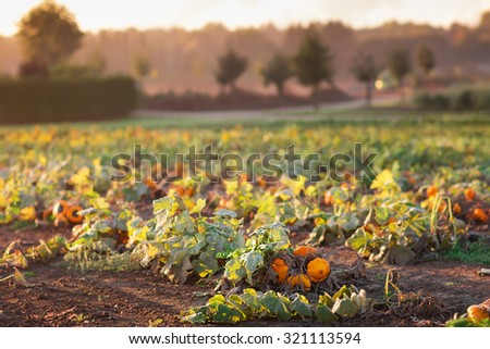 Beautiful pumpkin field in Germany, Europe. Halloween pumpkins on farm. Pumpkin patch on a sunny autumn morning during Thanksgiving time. Organic vegetable farming. Harvest season in October. - stock photo