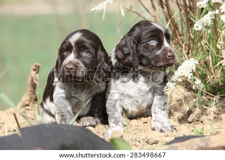 Beautiful puppies of German Quail Dog in spring