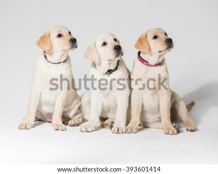 Beautiful puppy labrador retrievers against a white background - stock photo