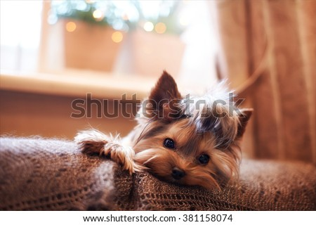Beautiful puppy lying on a fluffy rug. Little dog looks clever and sad eyes. Man's best friend. Yorkshire Terrier. - stock photo