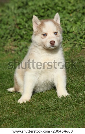 Beautiful puppy of siberian husky sitting in the garden