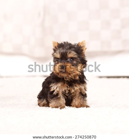 Beautiful puppy york terrier in a bright room. Cute little yorkshire terrier puppy on white background. Yorkshire terrier against a white background.  - stock photo