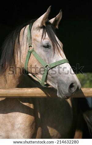 Beautiful purebred arabian horse standing in the barn door - stock photo