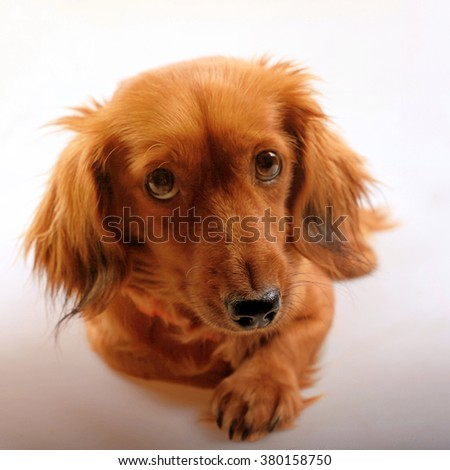 Beautiful purebred brown longhaired dachshund dog looking at camera, selective focus on nose. square image - stock photo