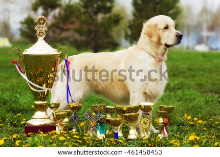 beautiful purebred dog Golden-Retriever stands with cups and prizes in the summer on the grass, the repeated champion of breed, breeding male