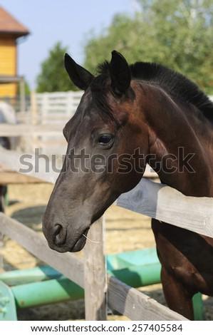 Beautiful purebred horse looking over stable door - stock photo