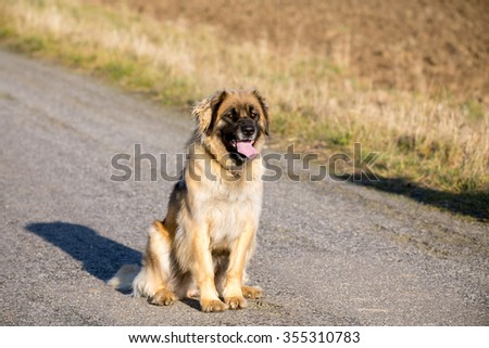 Beautiful purebred Leonberger dog outdoors on a sunny winter day without snow