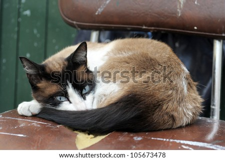 beautiful purebred siamese cat lying down on a old chair