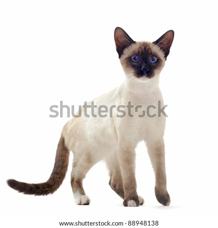 beautiful purebred siamese kitten in front of white background