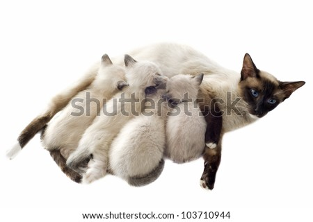 beautiful purebred siamese kitten sicking their mother in front of white background - stock photo