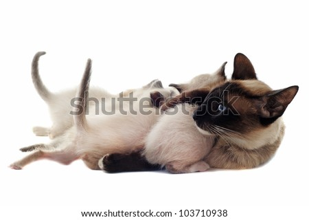 beautiful purebred siamese kitten sucking their mother in front of white background - stock photo