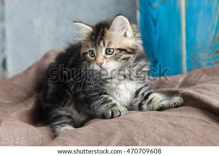 Beautiful purebred Siberian kitten