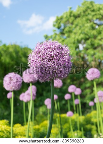 Beautiful purple allium flower green natural stock photo 639590260 beautiful purple allium flower with green natural background perfect image for pink alliums flowers mightylinksfo