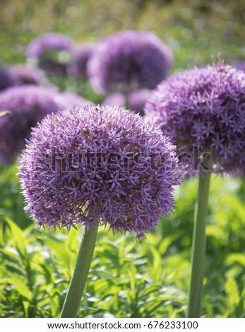 Beautiful purple allium flower green natural stock photo 676233100 beautiful purple allium flower with green natural background perfect image for pink alliums flowers mightylinksfo Image collections