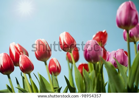 Beautiful purple and red tulips against a blue spring sky.