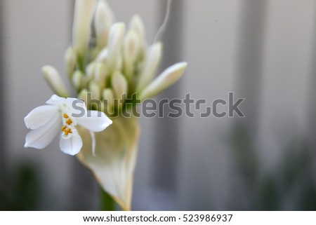 Beautiful purple and white Agapanthus flowers with leaves in background