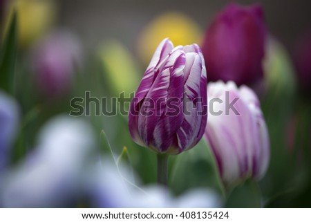 Beautiful purple and white colored tulip in soft focus - stock photo