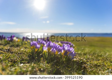 Beautiful purple and yellow crocus with blue lake and sky in background - stock photo