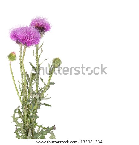 Beautiful purple burdock wild flowers in vase isolated on white. Arctium  lappa - stock photo