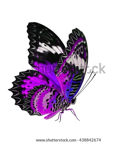Beautiful purple butterfly, the Leopard Lacewing butterfly in fancy color profile isolated on white background with all legs body and wings details