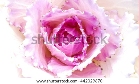 Beautiful purple cabbage flower on white isolated