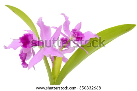 beautiful Purple Cattleya orchid flowers isolated on White background