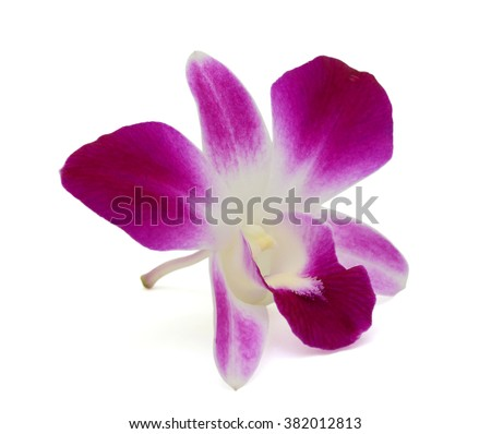 beautiful purple dendrobium orchid flower isolated on white background