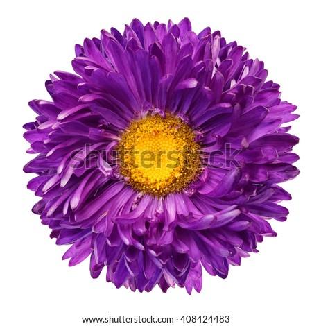 Beautiful Purple Flower Isolated On White Background
