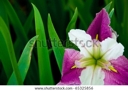 Beautiful Purple Flower Surrounded By Green Leaves - stock photo