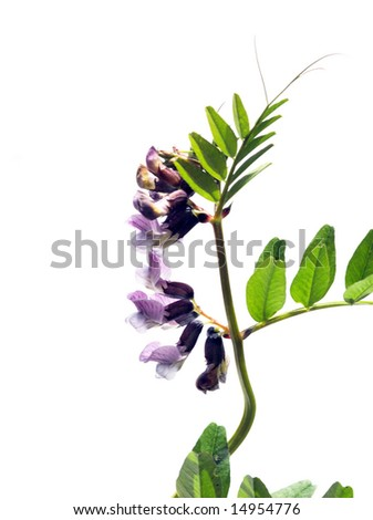 beautiful purple flowers and green leaves against white background - stock photo