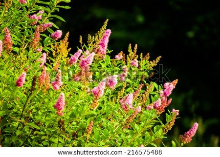 Beautiful purple flowers of Summer lilac (Buddleja davidii) in garden at sunset - stock photo
