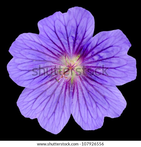 Beautiful Purple Geranium Flower with Visible Veins in Petals Isolated on Black Background