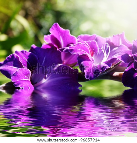 Beautiful purple gladioli in the summer - stock photo