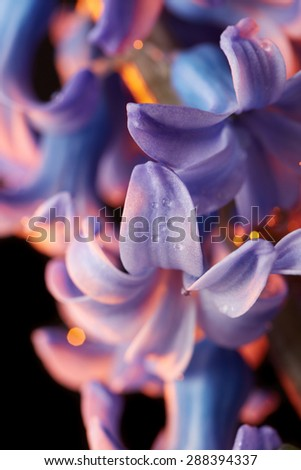 Beautiful purple hyacinth flower close up